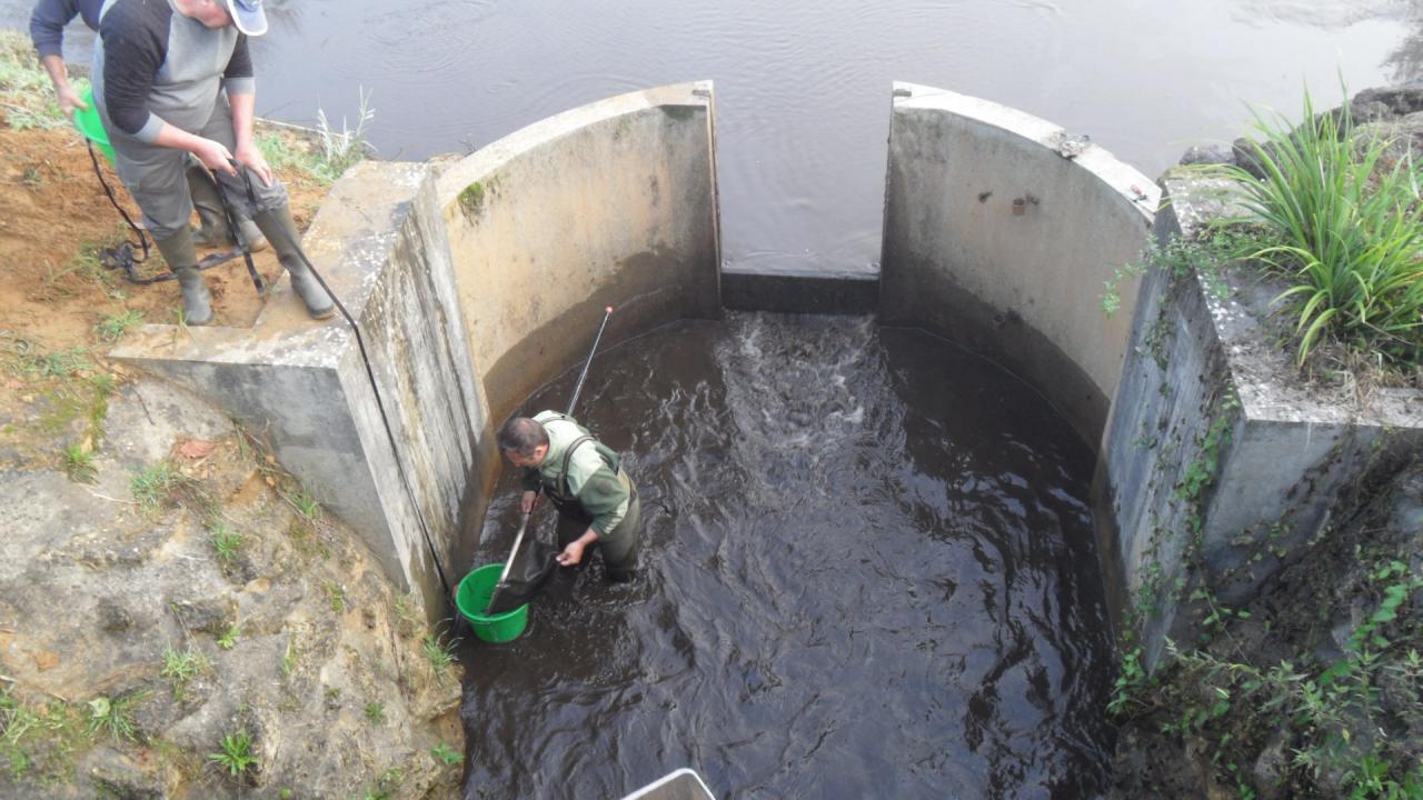 Récupération des poissons à Geloux